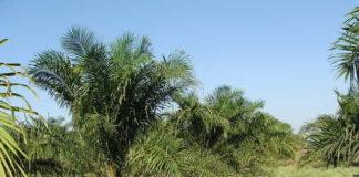 пальмы для пальмитиновой кислоты